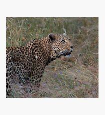 Leopard in lavendar Photographic Print