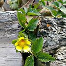 Indian Strawberry Flower in between the railroad ties in my garden by Jane Neill-Hancock