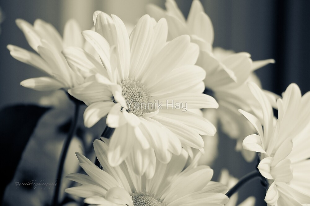 Lovely Daisies - Double Oxeye Daisies by Yannik Hay