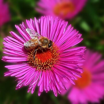 Aster with visitor by evelynlaeschke