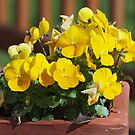 Pansies on my patio by Bine