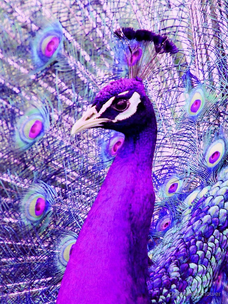 Purple Peacock by chihuahuashower