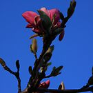 Magnolia in Late Light by Lyle Hatch