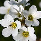 Meadow Saxifrage (Saxifraga granulata)  by Steve Chilton