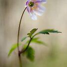 Woodland Anemone by JEZ22