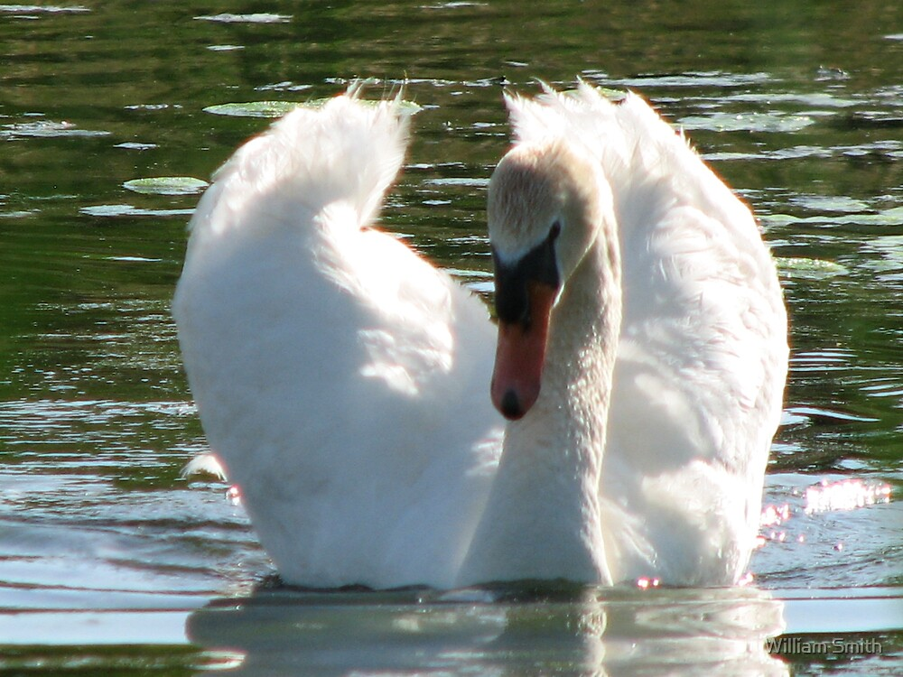 Proud Mute Swan by William Smith