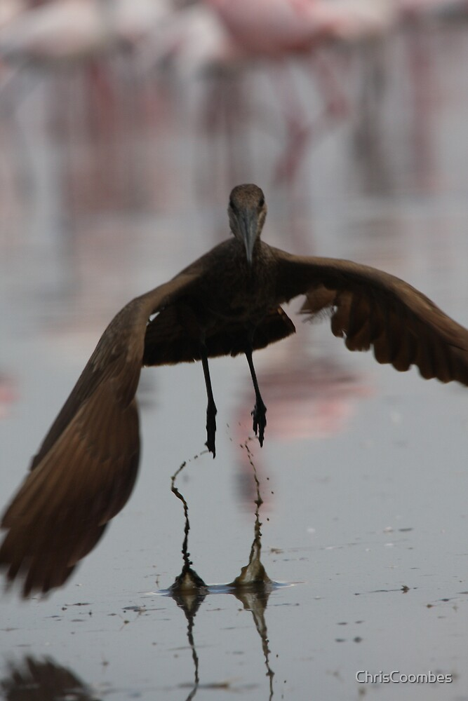 Hammerkop take off by ChrisCoombes