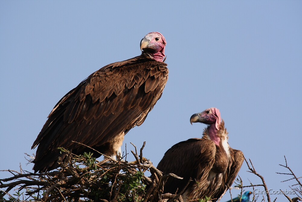 vultures by ChrisCoombes