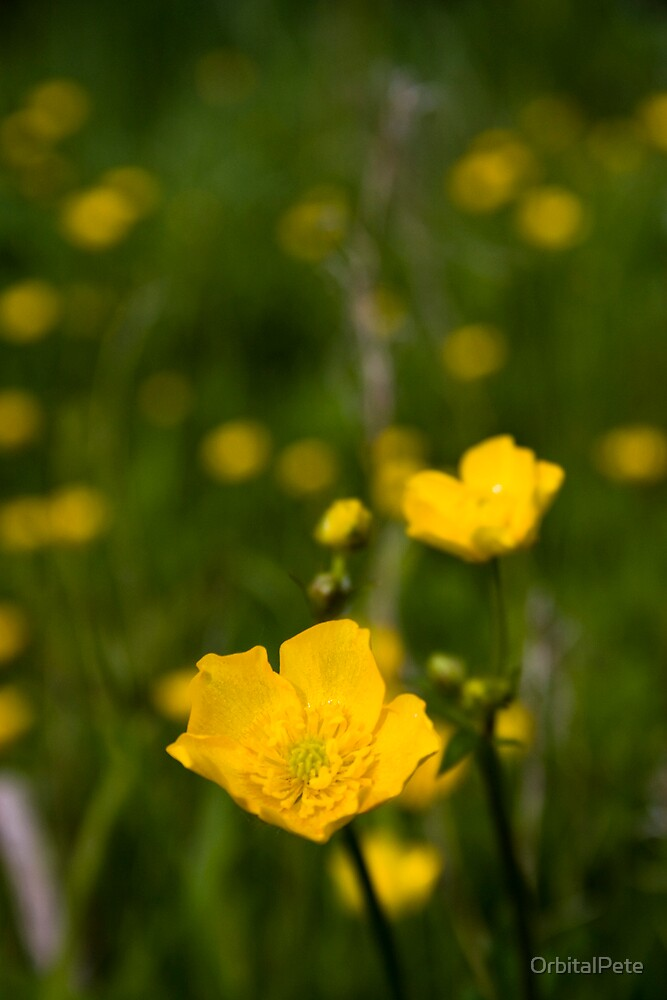 Buttercup Two by OrbitalPete