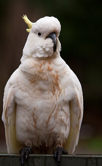 Sulphur Crested Cockatoo by David Sumner