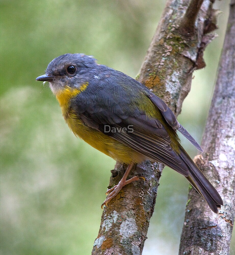 Eastern Yellow Robin 2 by David Sumner