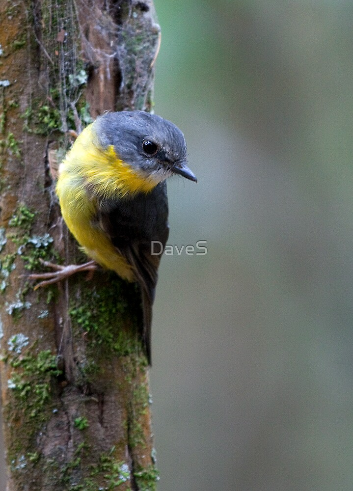 Eastern Yellow Robin 3 by David Sumner