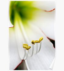 Hippeastrum 'Picotee' (Amaryllis) Flower Closeup Poster