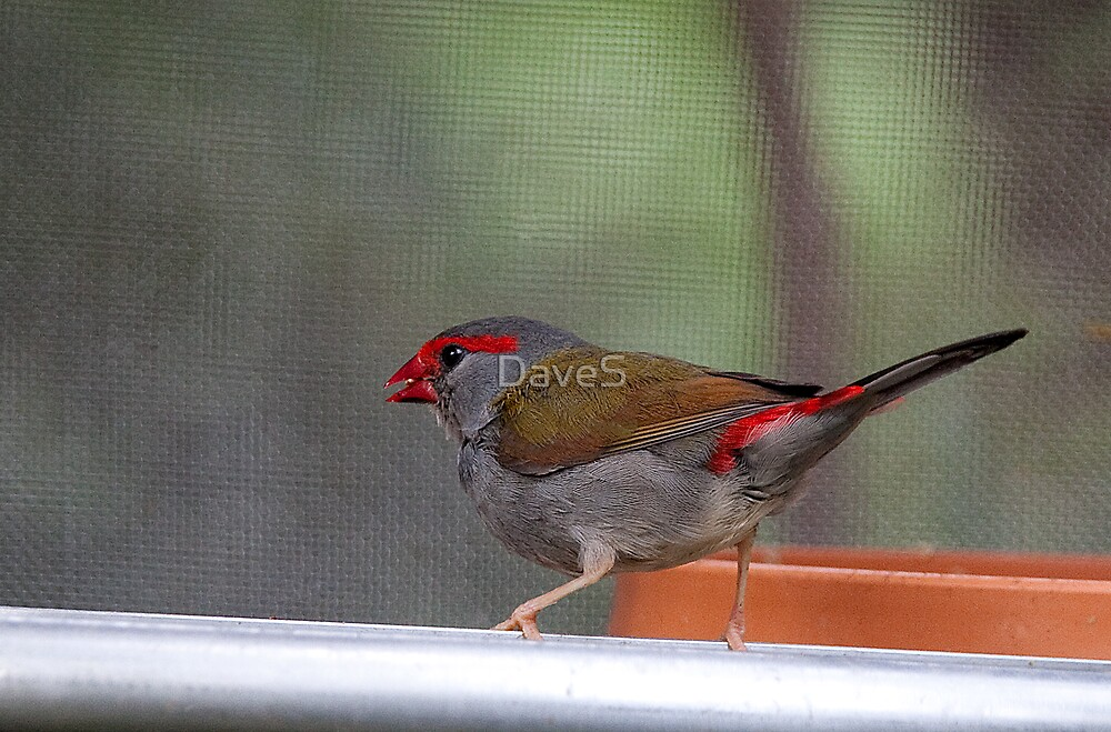 Red Browed Finch by David Sumner