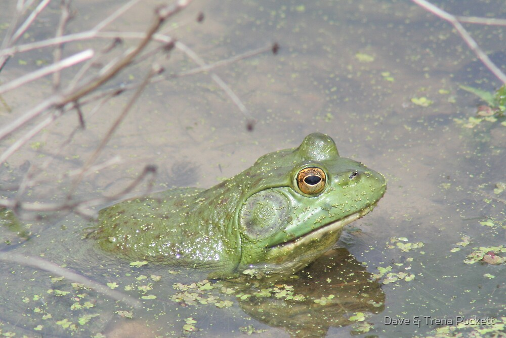 Frog by Dave & Trena Puckett
