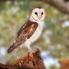 Chips the Barn Owl, Native Animal Rescue by Dave Catley