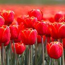 A Field Full of Red Tulips by Jo Nijenhuis