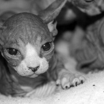 Sphynx Kitten 3 by xTRIGx
