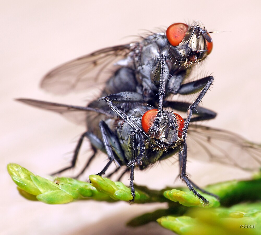 Mating Flies (3) ! by robkal