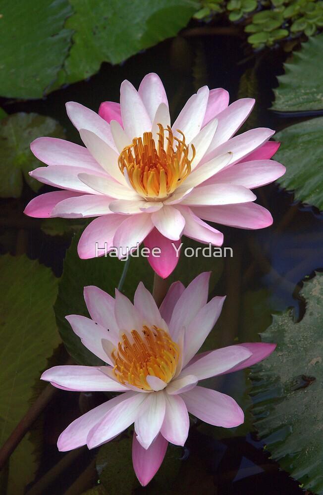 Pink Water Lillies by Haydee  Yordan