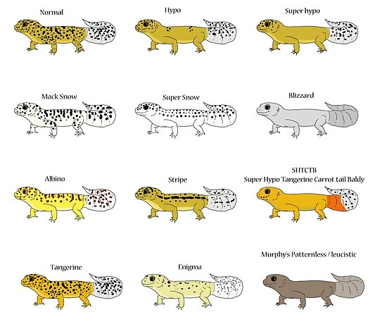 'Common Leopard Gecko Morphs' Poster by christywoowoo