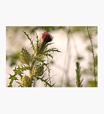Morning Thistle Photographic Print