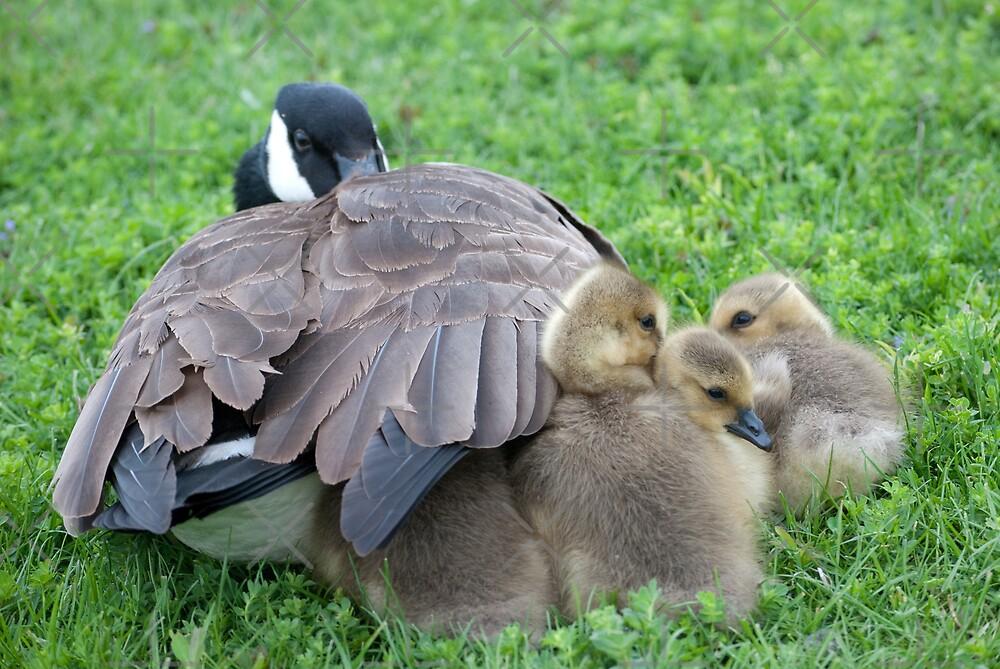 Canada Goose and goslings by (Tallow) Dave  Van de Laar