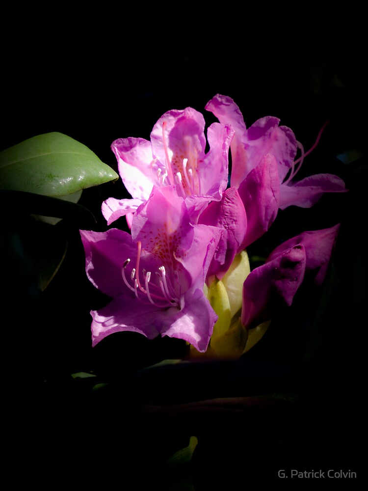 Rhododendron Portrait #1 by Gregory Colvin