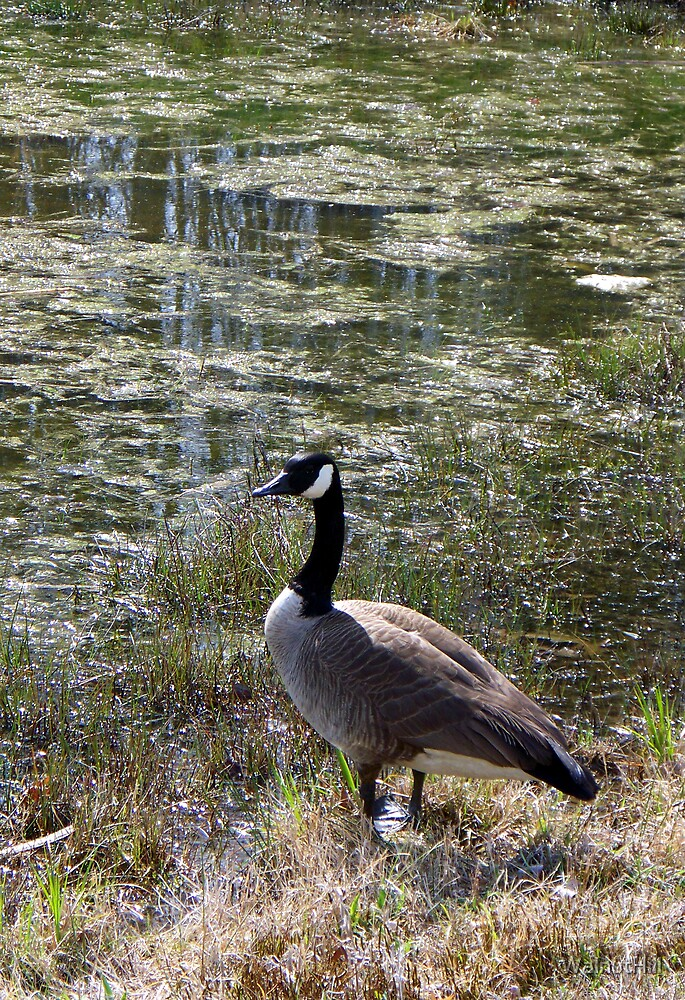 Wild Goose Chase 2 by WalnutHill