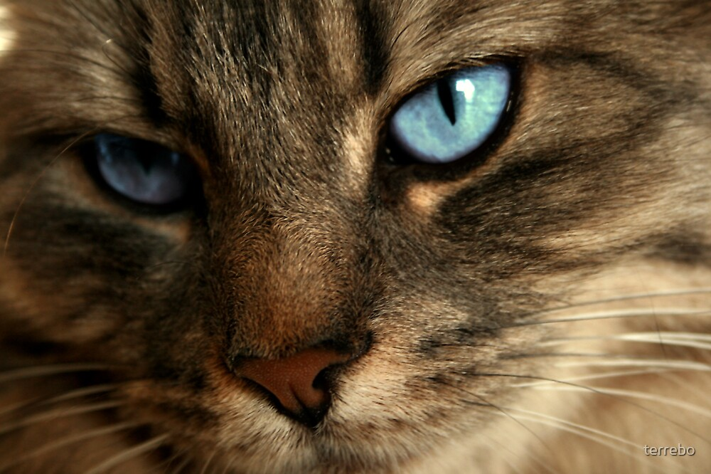 Close Up Of Blue Eyes Cat by terrebo