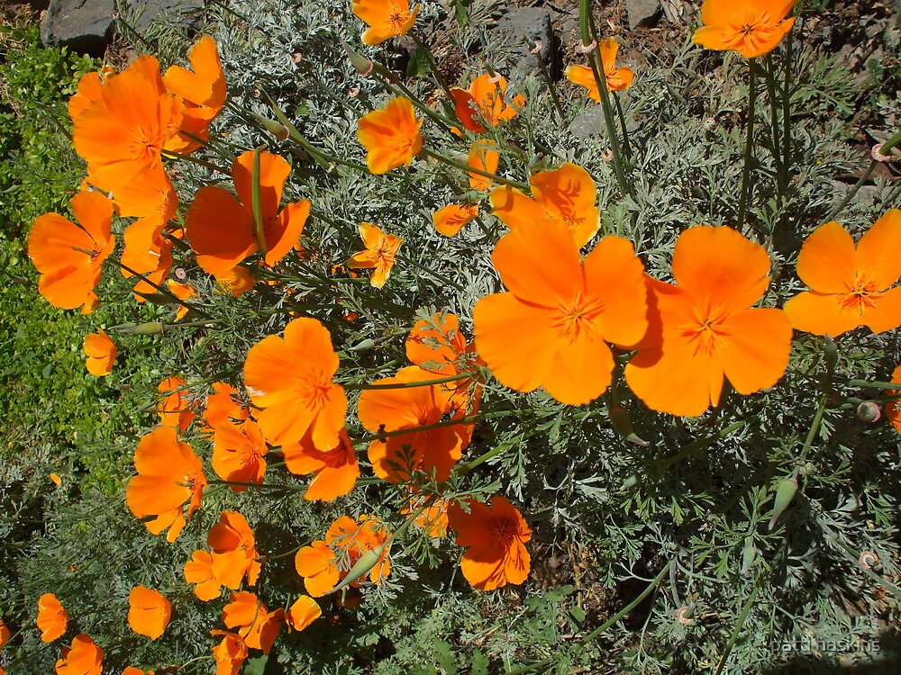 California Poppies by patti haskins