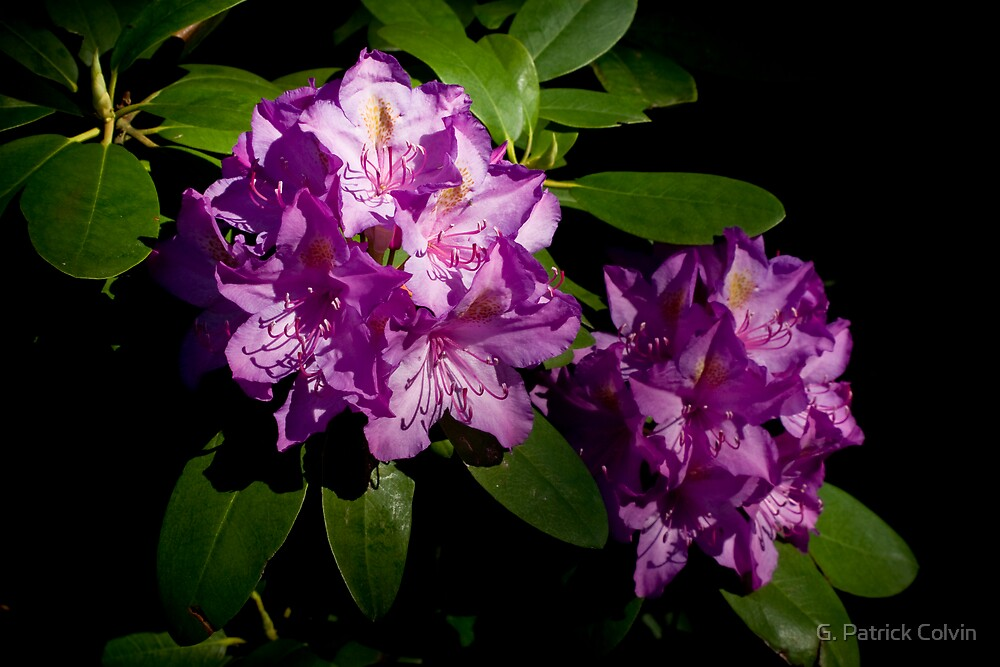 Rhododendron Pair by Gregory Colvin