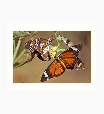 Orange Tiger Butterflies, Northern Territory, Australia Art Print