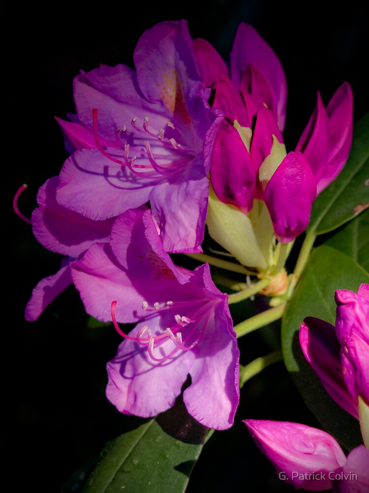 Rhododendron: Flowers & Buds by Gregory Colvin