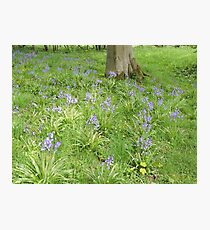 Bluebell Woodland (The Lake District)  Photographic Print