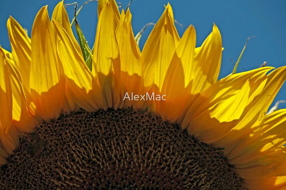 Golden Sunflower by AlexMac