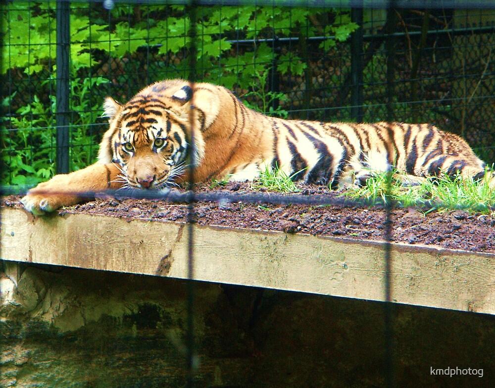 Sumatran Tiger by kmdphotog