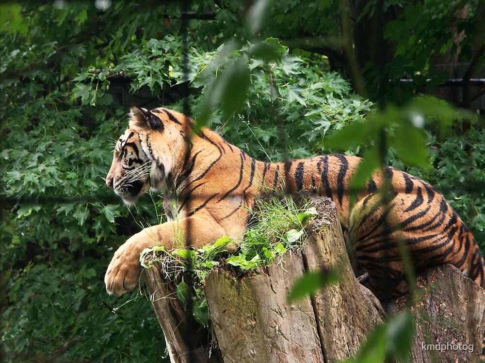 Sumatran Tiger III by kmdphotog