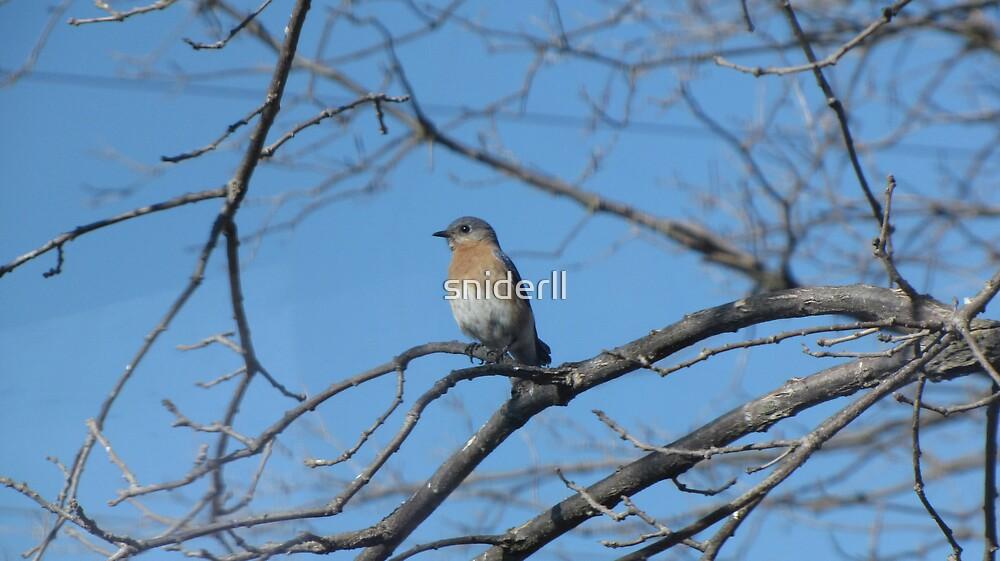 Eastern Bluebird by Linda Snider by sniderll