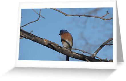 Bluebird in tree by Linda Snider by sniderll