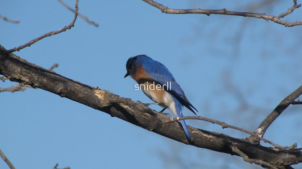 bluebird on branch by Linda Snider by sniderll