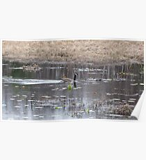 Candian Goose on a pond by Linda Snider Poster