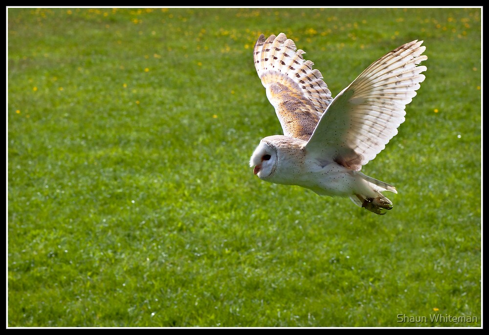 Barn owl in flight by Shaun Whiteman