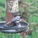 Black capped Chickadee at birdfeeder by Linda Snider by sniderll