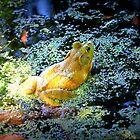 Bullfrog In The Swamp by Cynthia48