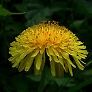 humble dandelion by AncientSnapper