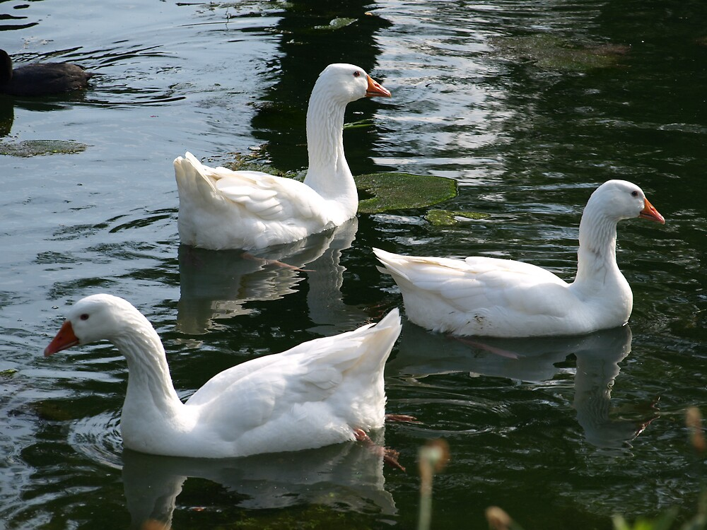 geese by makpics