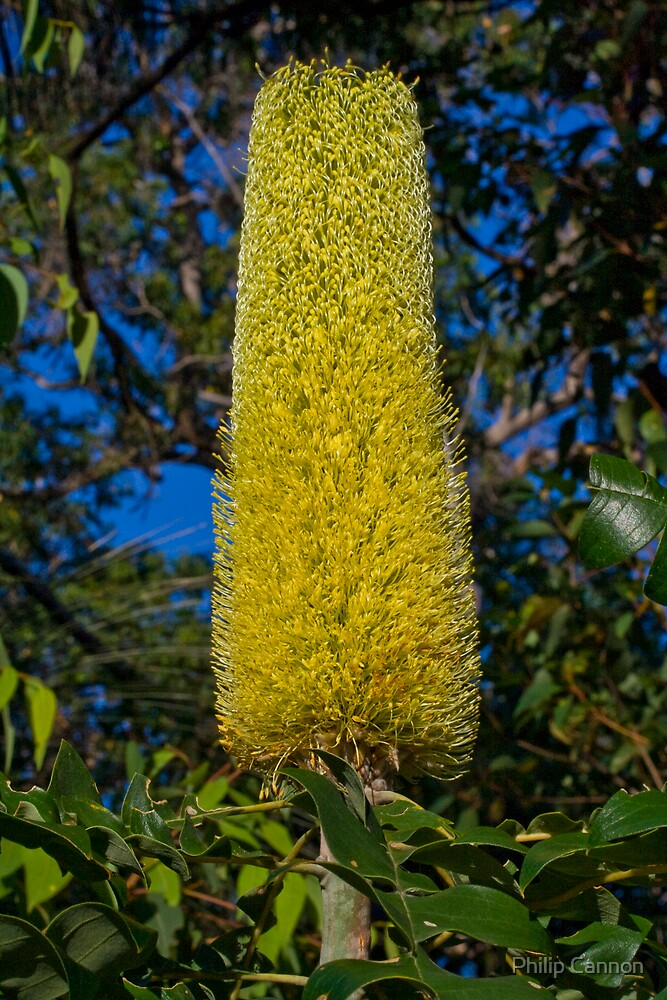 Banksia by Philip Cannon