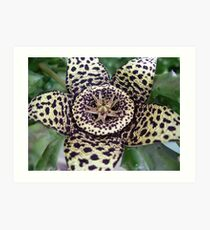 Orbea variegata - Starfish Cactus Art Print