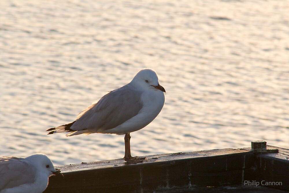 Gull by Philip Cannon